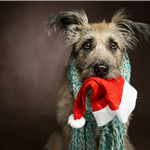 Sad Dog Holding Santa Hat in Mouth